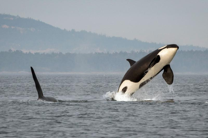 Killer whale breaching in Puget Sound
