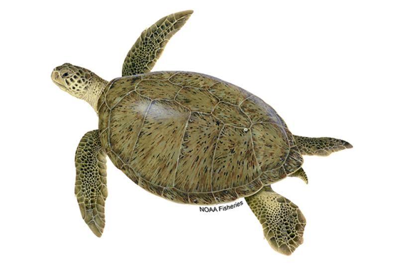 Left-facing green turtle illustration. Credit: Jack Hornady for NOAA Fisheries.