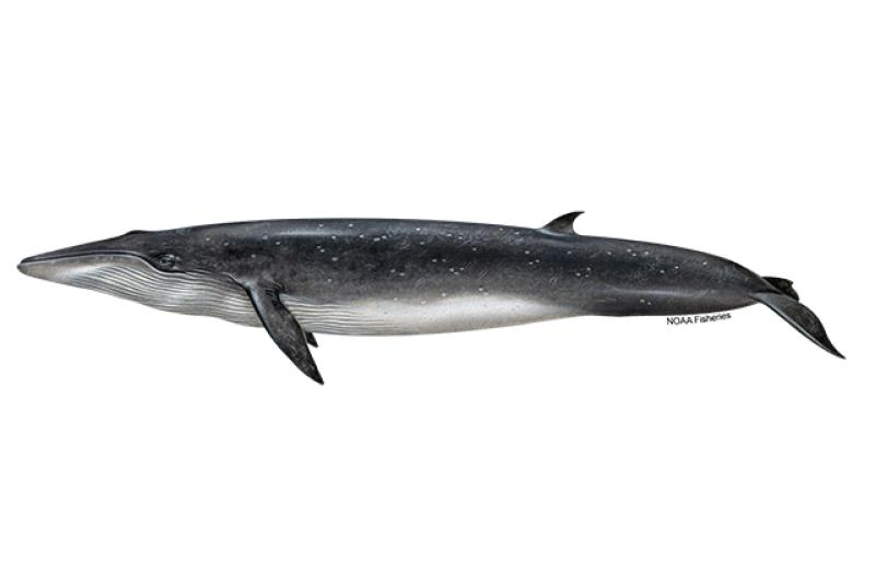 Left-facing illustration of Bryde's whale. Credit: Jack Hornady for NOAA Fisheries.