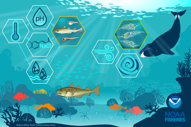 Infographic of an underwater habitat with coral, rocks, starfish, fish, a bowhead whale and hexagons showing relationships between pH, temperature, salinity etc. and transfer advection of krill - created by Rebecca White, Alaska Fisheries Science Center, NOAA Fisheries