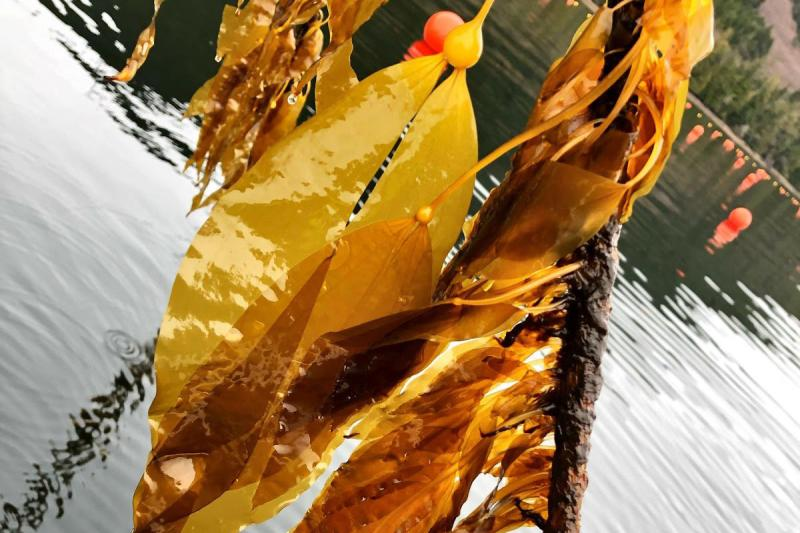 Close up of kelp from Seagrove Kelp Co