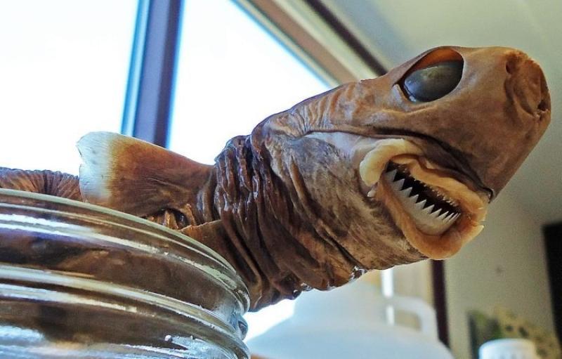 Cookie cutter shark specimen