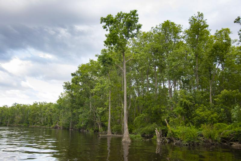 Tidal Forested Wetlands and other vegetation along a shoreline in the Lower Cape Fear River basin.