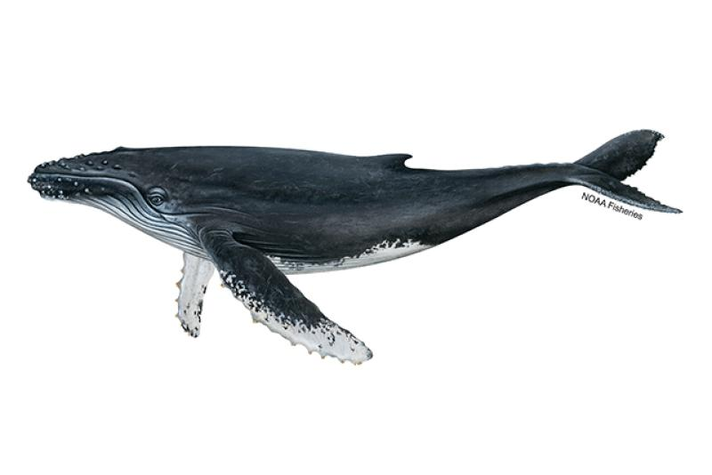 Humpback whale illustration. Credit: Jack Hornady for NOAA Fisheries.
