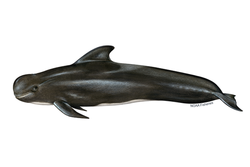 Left-facing illustration of short-finned pilot whale with mostly black body and white underside. Credit: Jack Hornady for NOAA Fisheries.