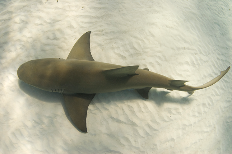 A lemon shark swimming as seen from above.
