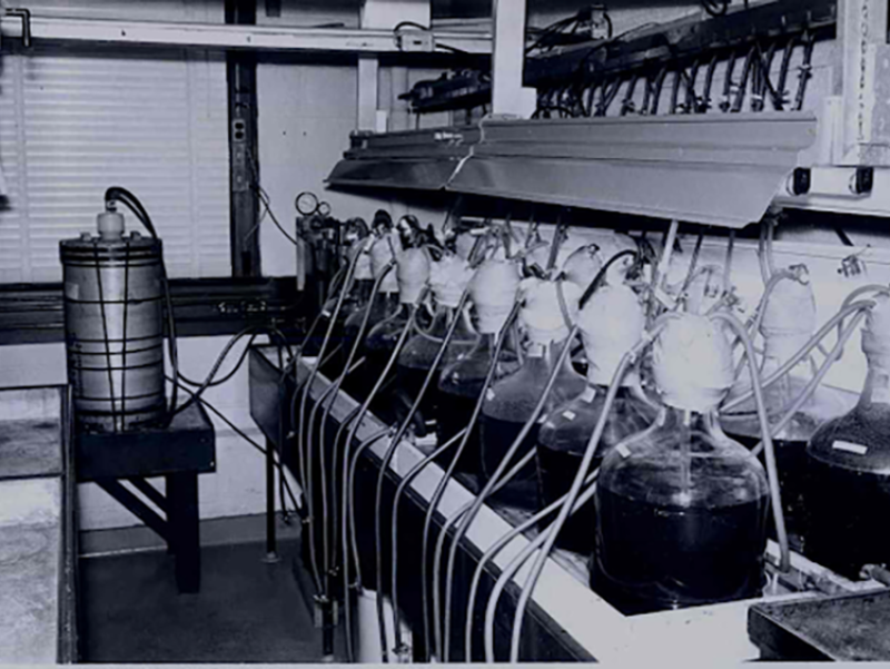 Black and white image. Table holding 14 large, bottle-like glass containers called carboys, one next to the other in two rows.
