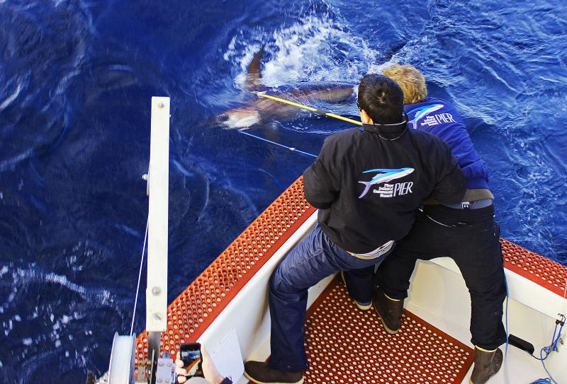Overhead photo of researchers tagging a swordfish off the bow of a boat