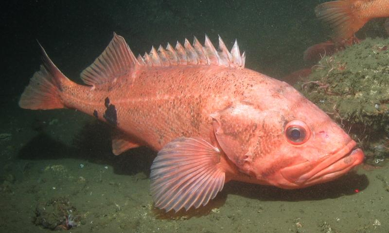 A large orange fish on ocean bottom