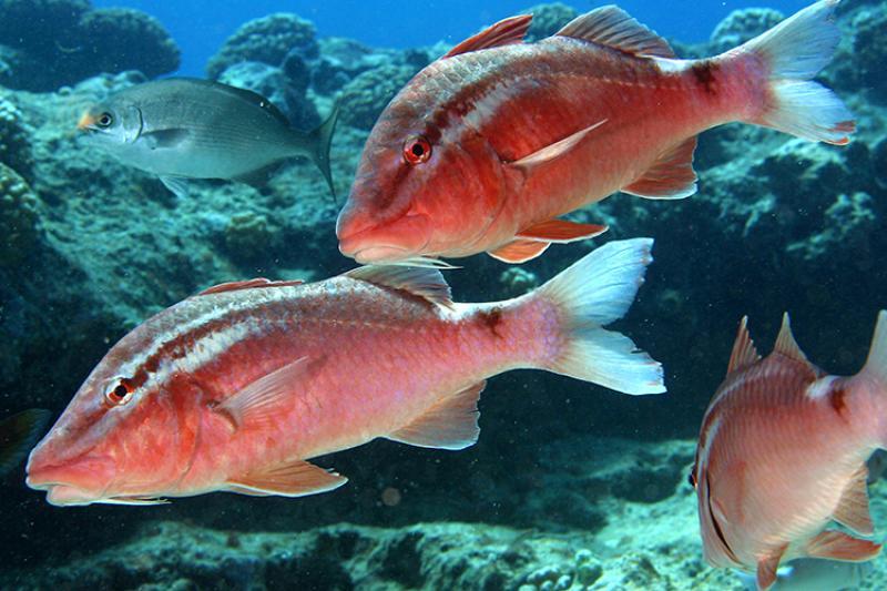 One white goatgish and three red kumu fish swimming.