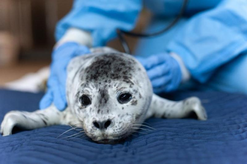Photo of Stranded Harbor Seal Pup
