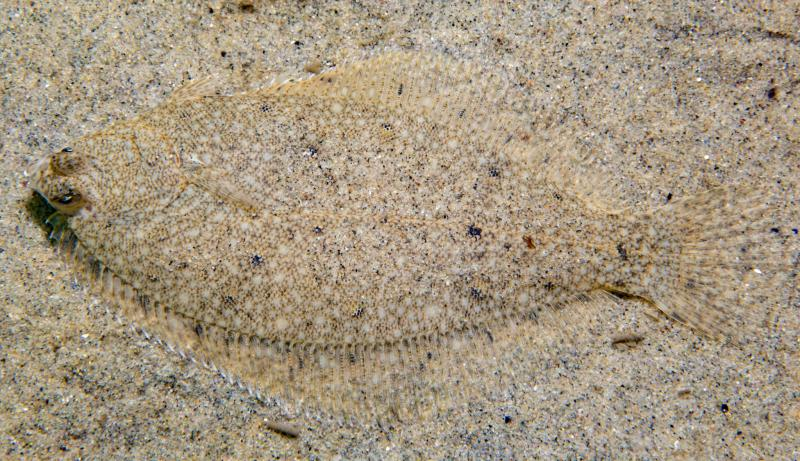 A very flat fish whose coloring blends into the sandy ocean bottom.
