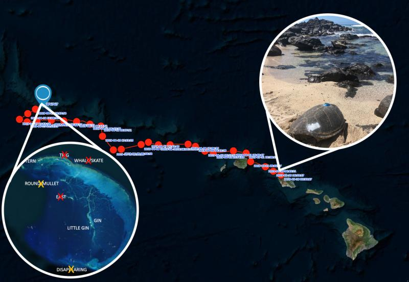 Track of a green sea turtle from foraging to nesting site across the Hawaiian islands.
