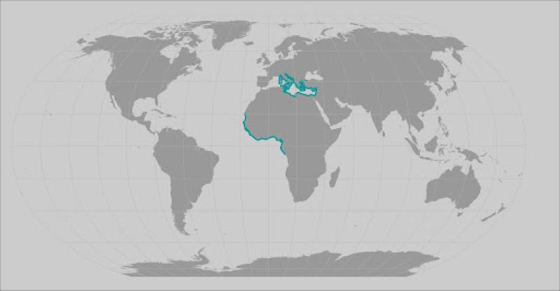 Smoothback angle shark range map
