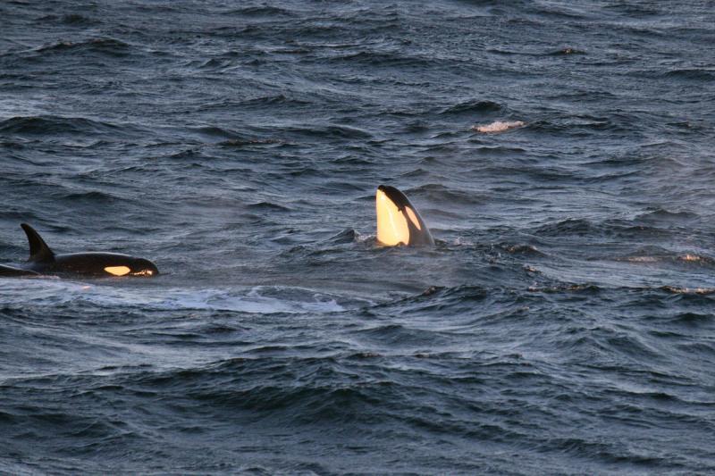Killer whales at sea