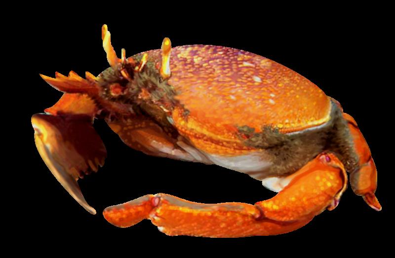 1500x981-kona-crab-illustration.png