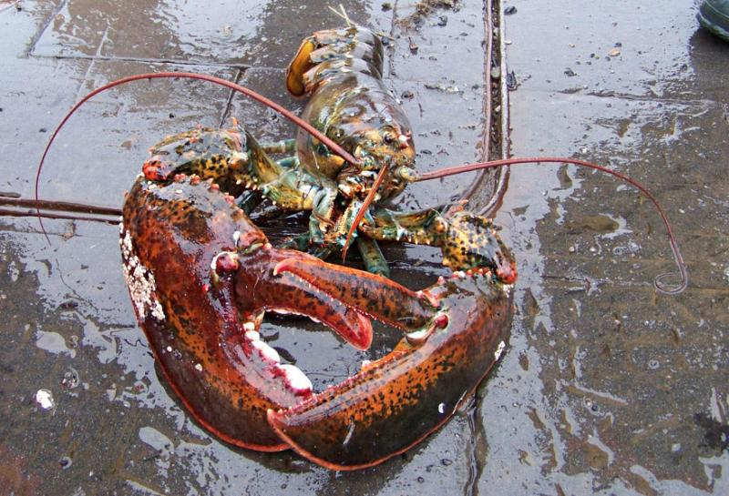 2015-lobster-case-OLE.jpg