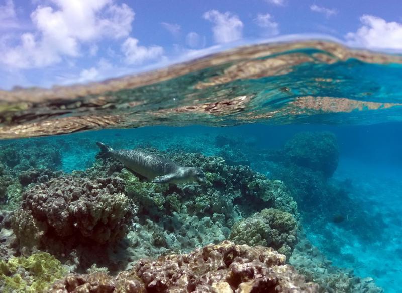 2276x1655-PIFSC-Hawaiianmonkseal-Mark.Sullivan.jpg