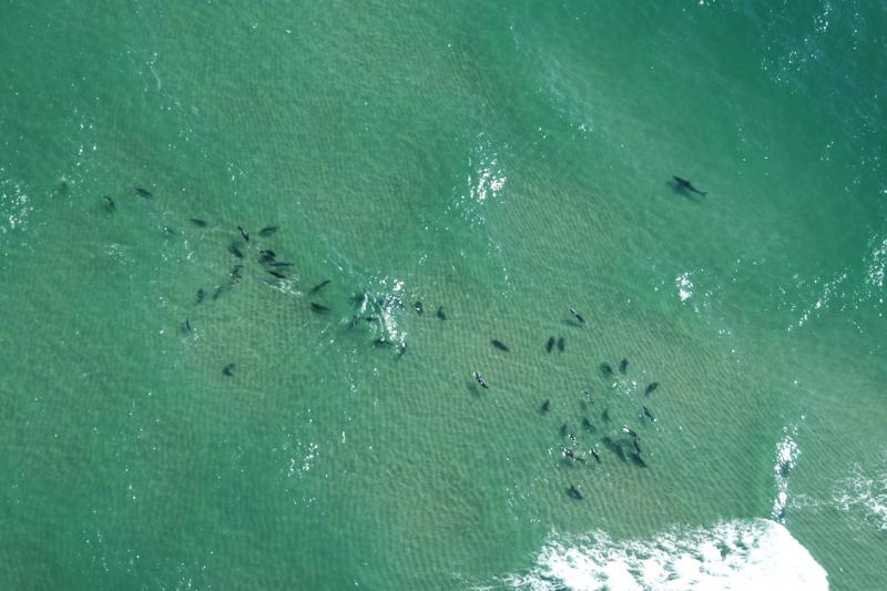Aerial view of seals and sharks off Chatham, MA.
