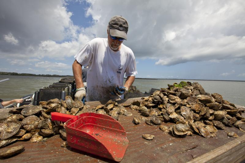 An oyster farmer compares oysters by size to see which ones are ready for harvest.