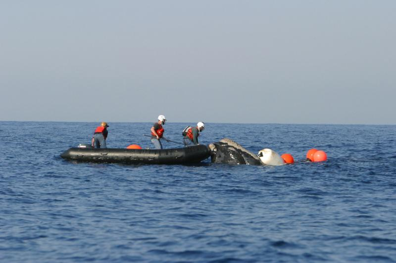 3072x2048_right whale disentanglement_fwc.jpg