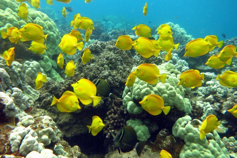 4000x2664-NOAA-PIFSC-Yellow-tang-Zebrasoma-flavescens-Paula-Ayotte.jpg