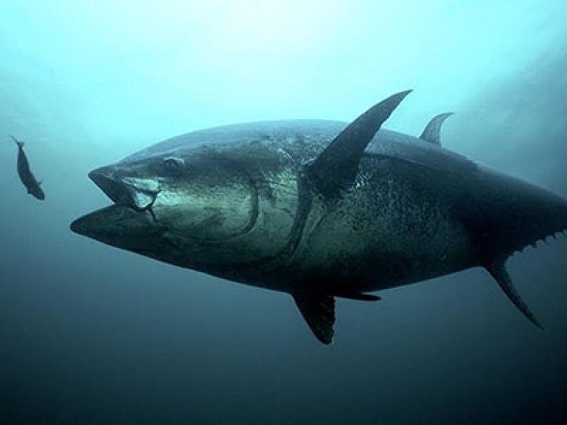 400x300_bluefin and herring_0.jpg