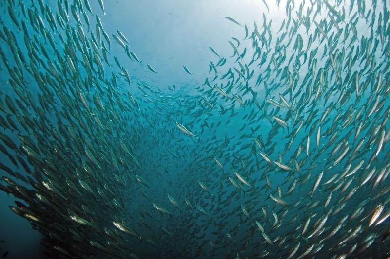 4752x3168-jack-mackerel-WCRO.jpg