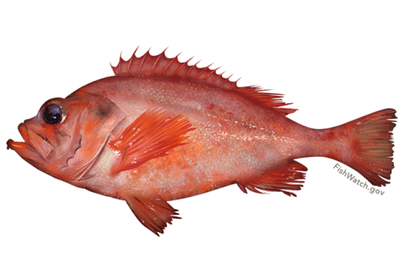 640x427-acadian-redfish.png