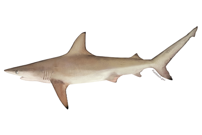 640x427-atlantic-blacktip-shark.png