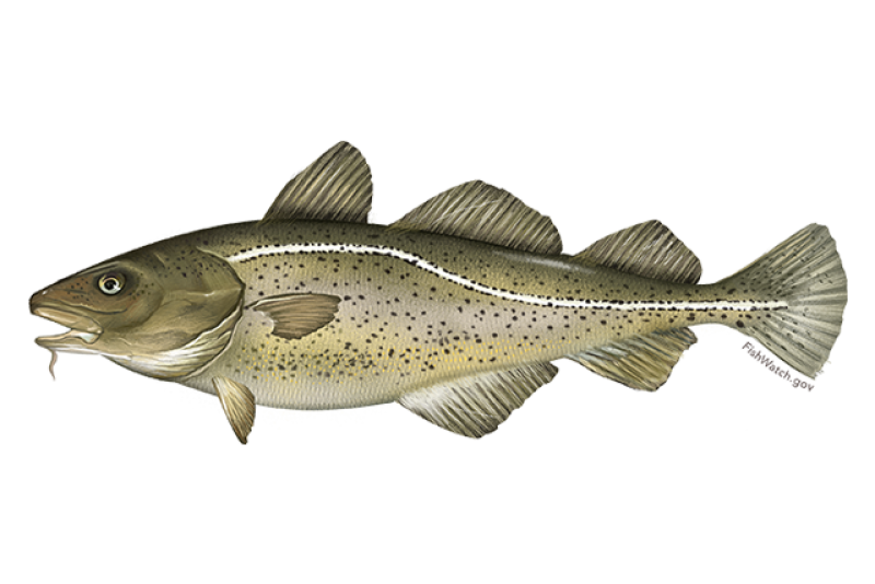 640x427-atlantic-cod.png
