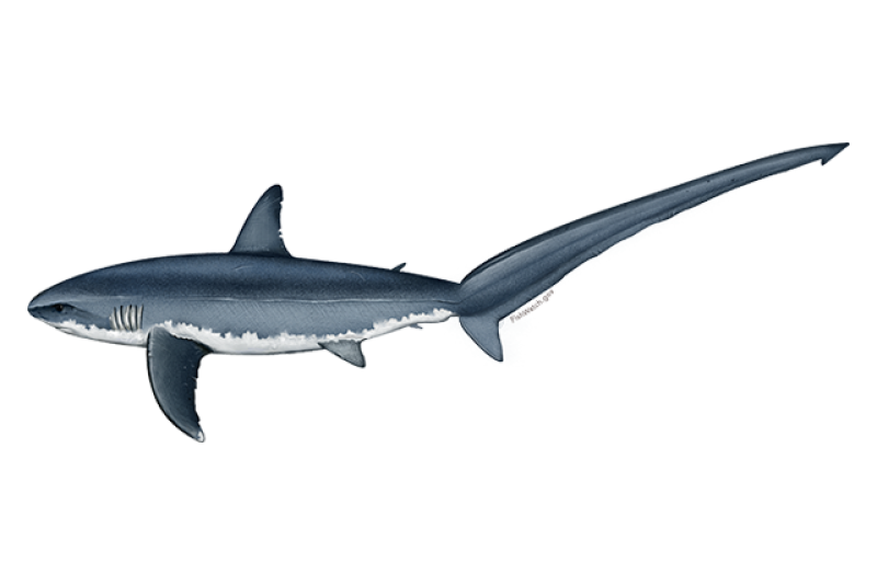 640x427-atlantic-common-thresher-shark.png