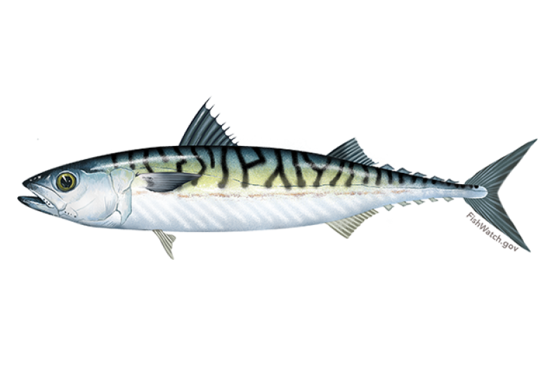 640x427-atlantic-mackerel.png