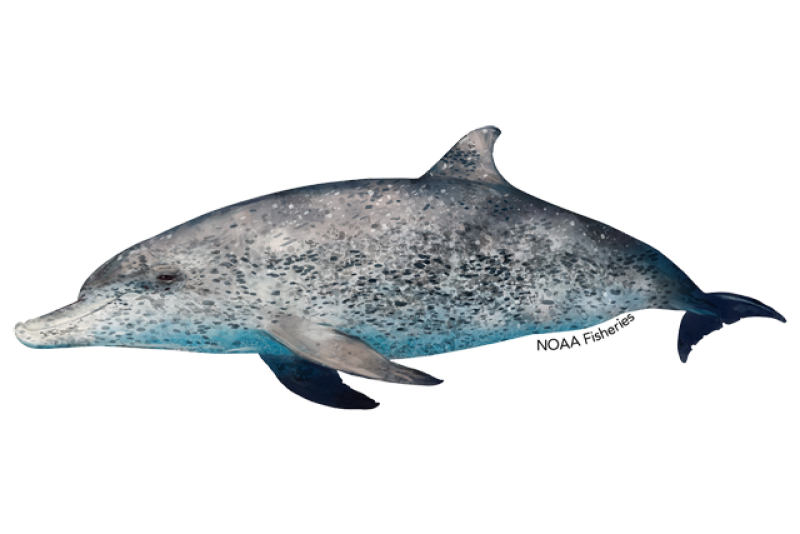 Side profile illustration of Atlantic spotted dolphin. Credit: Jack Hornady.