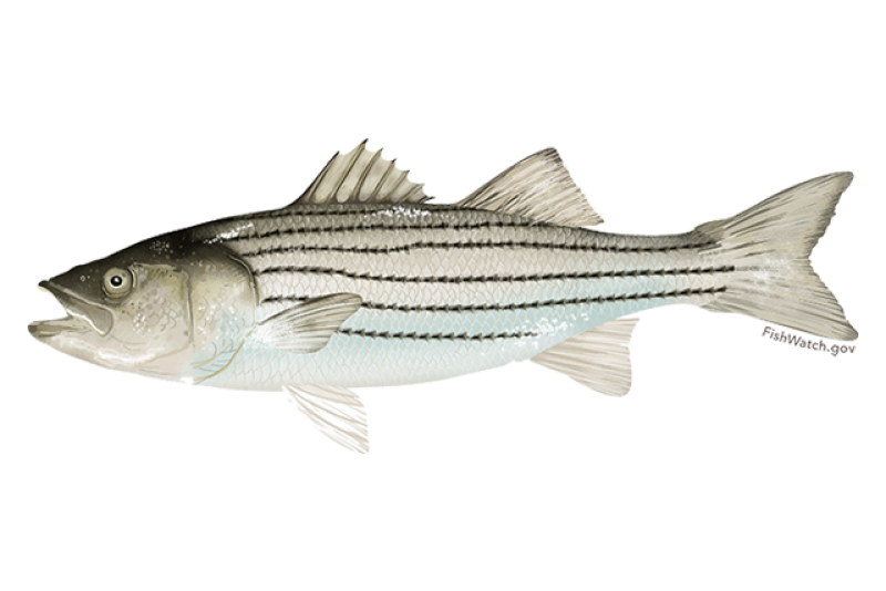 640x427-atlantic-striped-bass.png