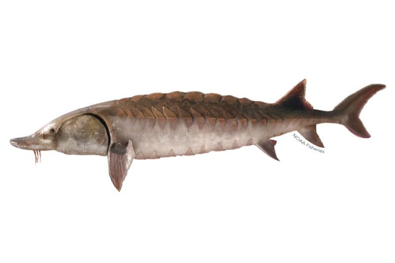 640x427-atlantic-sturgeon.png