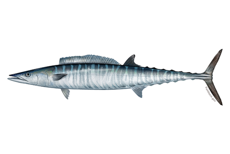640x427-atlantic-wahoo.png