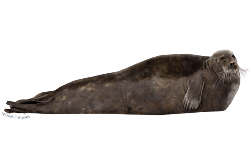 640x427-bearded-seal.png