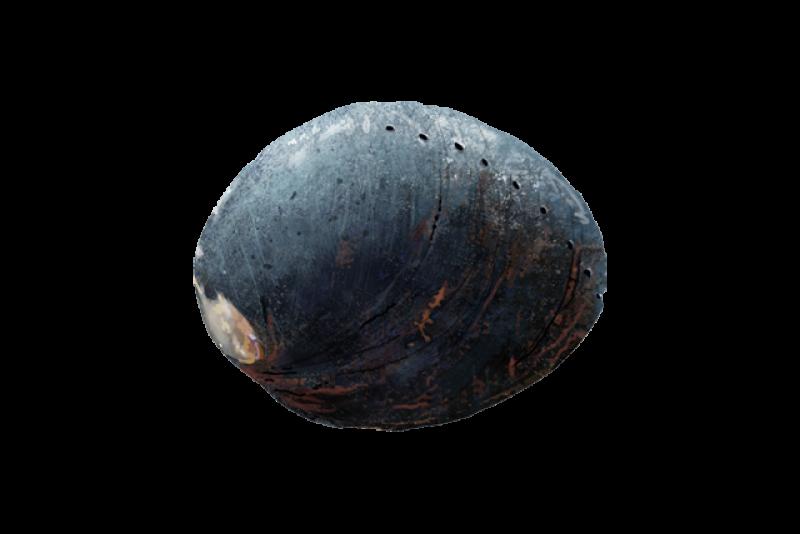 640x427-black-abalone.png
