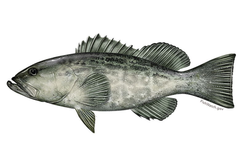 640x427-black-grouper.png