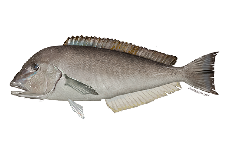 640x427-blueline-tilefish-illustration.png