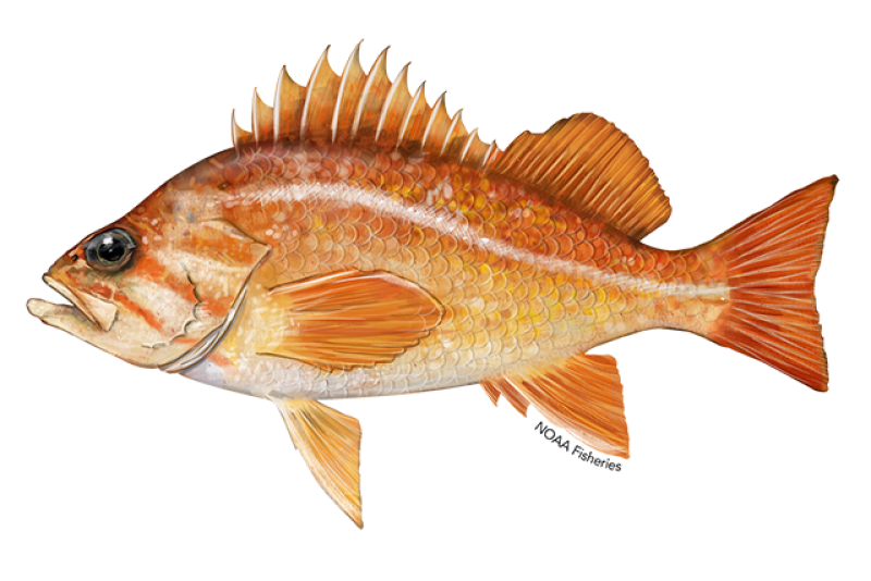 640x427-canary rockfish.png