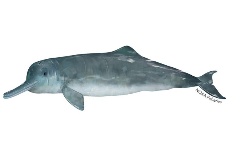 640x427-chinese-river-dolphin.jpg