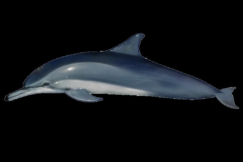 640x427-clymene-dolphin.png