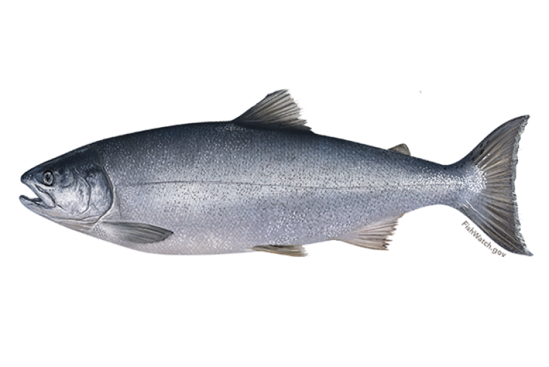 640x427-coho-salmon.png