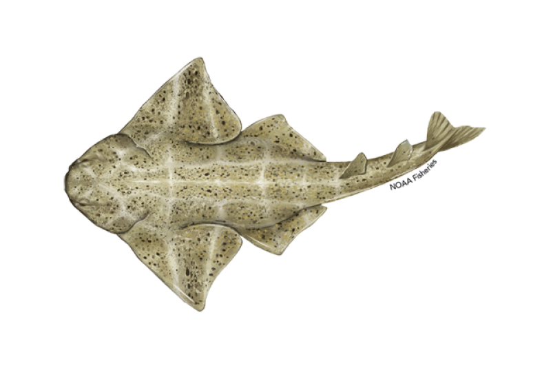 640x427-common-angelshark.png