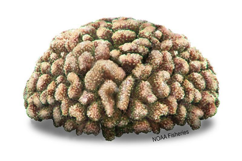 640x427-Coral_Cauliflower.jpg