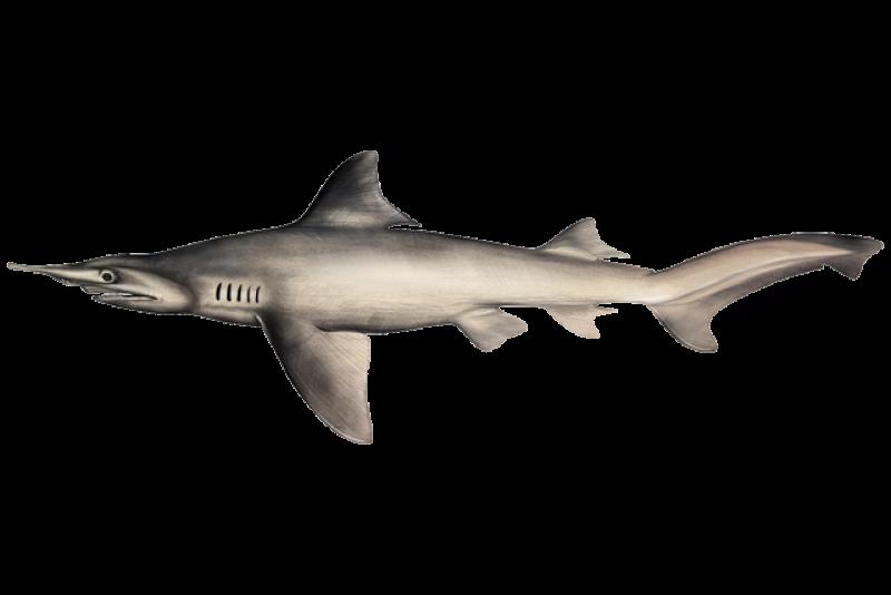 640x427-daggernose-shark.png