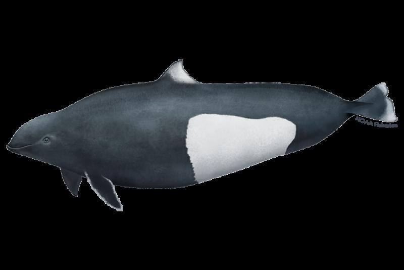 Side profile Dall's porpoise illustration. Credit: Jack Hornady