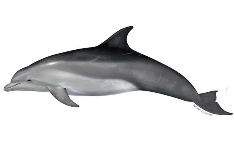 640x427-Dolphin_Bottlenose_NB_W.png